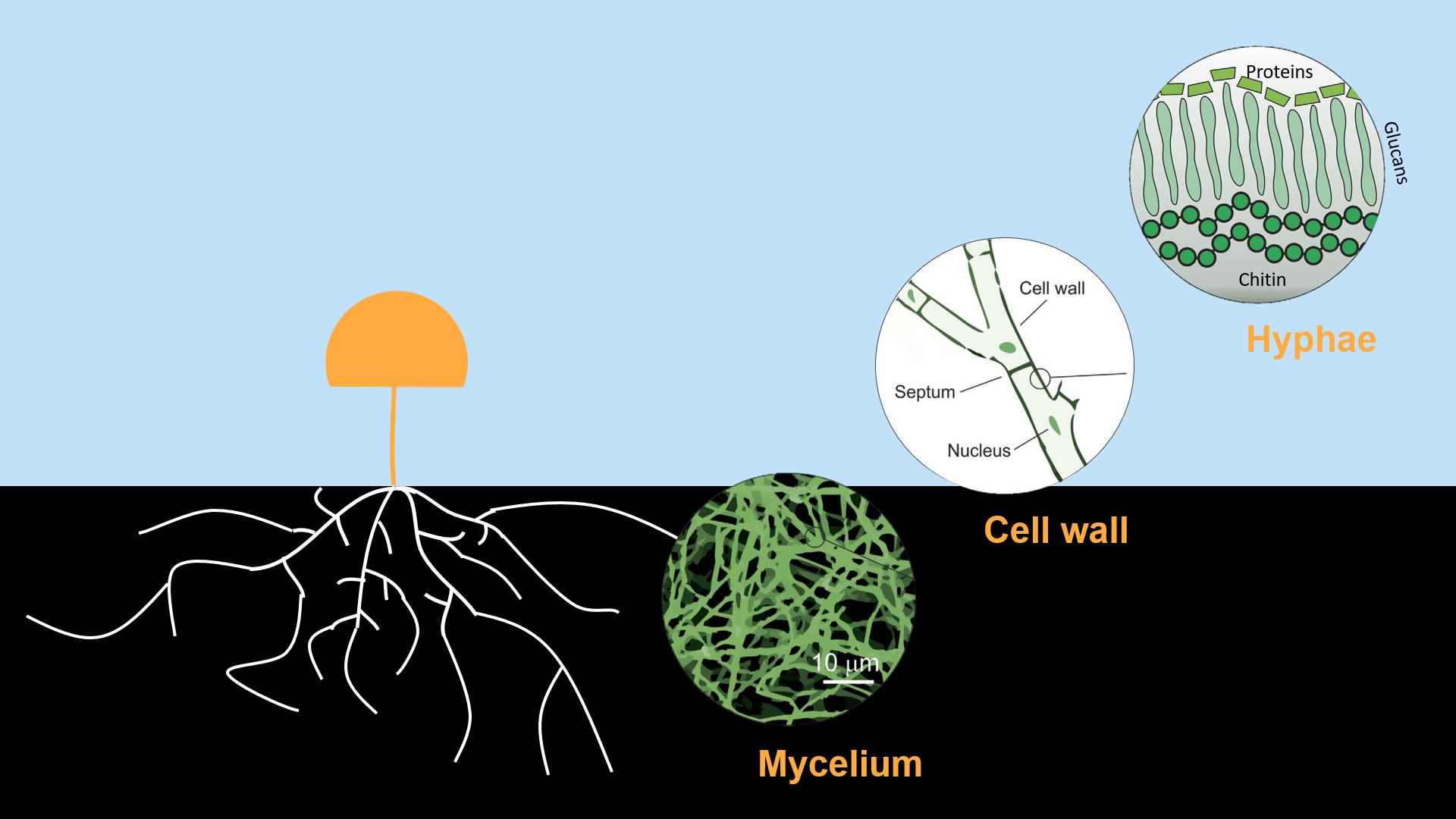 What is mycelium 60